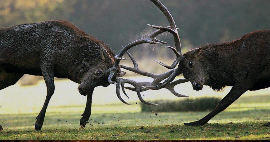combat de cerf