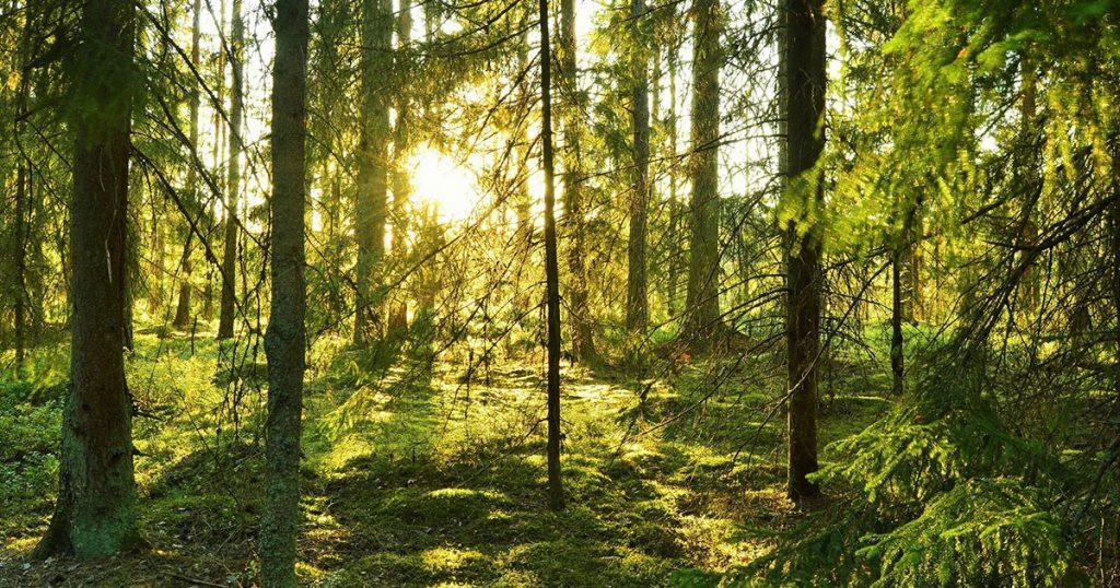 forêt en suede